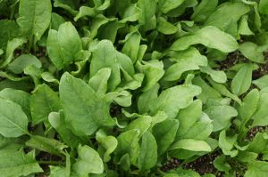 spinach to increase lactation